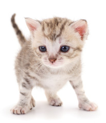 Small gray kitten .