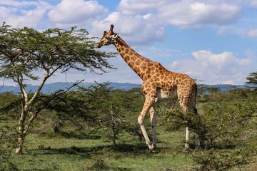 beautiful giraffe eating into the wild savanna