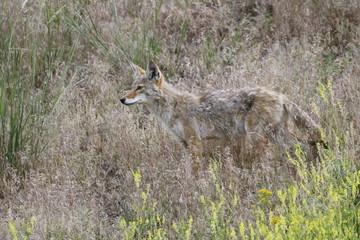 Yellowstone National Park, Kojote