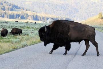 Yellowstone NP, Bison im Lamar Valley