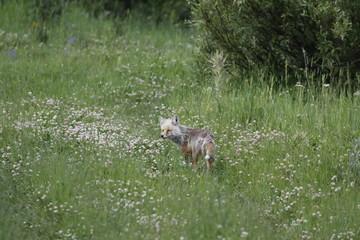 Yellowstone NP, Fuchs
