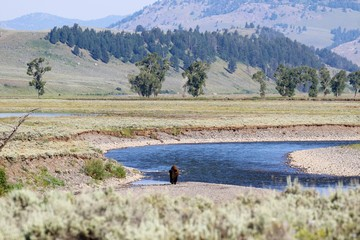 Yellowstone NP, Bisons im Lamar Valley