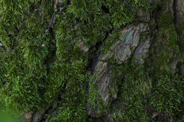 soft focus green moss on tree background texture