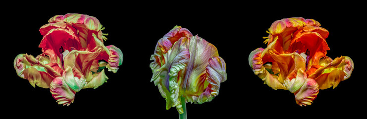 Fine art  bright colorful macro flower portrait of a three isolated colorful blooming open parrot tulips in surrealistic / fantastic realism style with pop-art colors on black background