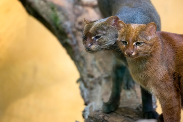 Jaguarundi in the wild