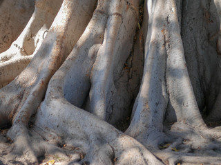 Roots of an old ancient tree that has been growing for many years