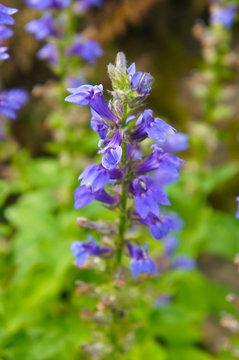Great lobelia siphilitica blue flowers