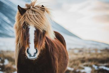 Ingelijste posters Paarden Portrait of Icelandic wild horse