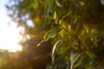 Spoed Foto op Canvas Olijfboom Fresh green branch with leaves in the sun with glare. new life, ecology, nature revival