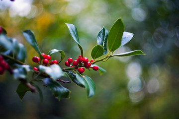 Close up of holly berries