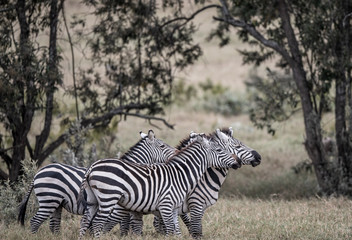 zebra playing in bush