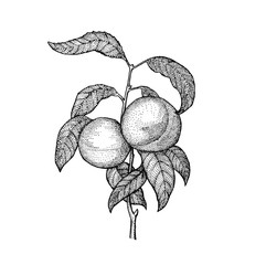 Stippling Botanical Illustration of Peach Tree and Leaves
