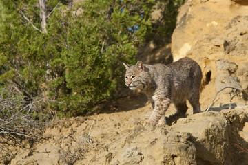 Bobcat on rocks taken in western North Dakota