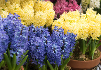 pretty hyacinth flowers composition, cheerful spring bouquet made by florist