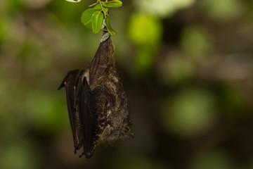 Proboscus Bat taken in Balize Central America