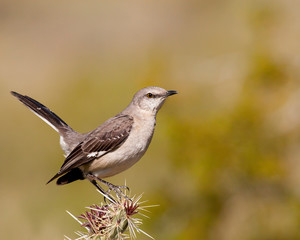 northen mockingbird perched on cactus