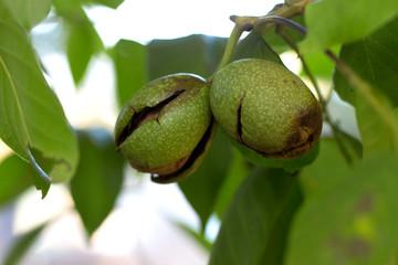 Walnut fruit