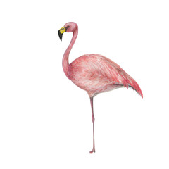 Watercolor painting a pink flamingo isolated on white