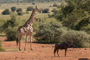 Beautiful landscape of Giraffe and Buffalo grazing