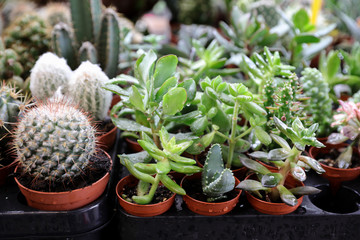 Collection of small decorative succulents and cactus in pots.