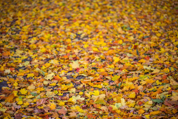 autumn leaves at cloudy morning with selective focus