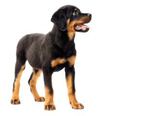 Wall Mural - rottweiler puppy in full growth