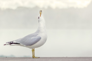 Seagull raising its head in a 90 degree angle