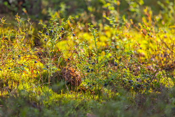Brown mushroom grows among green bilberry bushes with small black berries in the grass in the forest with bright sunlight. Vyborg forest, Leningrad region, Russia.