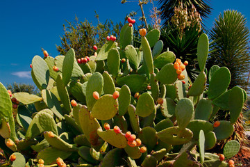 View of opuntia (prickly pear) cactus with tuna fruits on the blue sky background