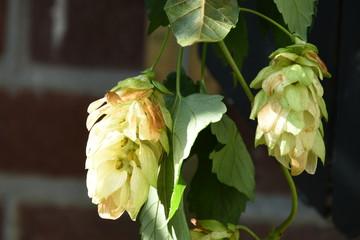 Foto auf Gartenposter Blumenhändler bloemen van de hop in een beukenhaag in de stadstuin