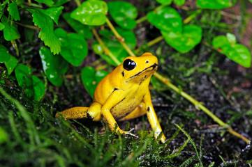 Wall Murals Frog Schrecklicher Pfeilgiftfrosch (Phyllobates terribilis) - Golden poison frog