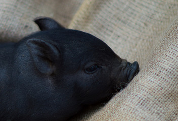 Little piglet on burlap as a postcard for the New Year