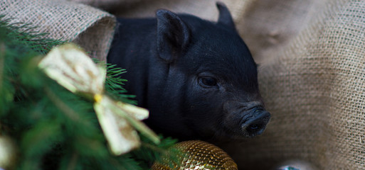 New Year of the pig on the Chinese calendar. New Year's pig near the New Year tree. Happy New Year. 2019 year of the yellow earth pig