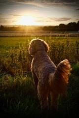 Dog watching the Sun go down