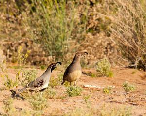 pair of Gambel's quail