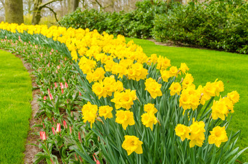 Flower bed with yellow daffodil flowers blooming in the Keukenhof spring garden from Lisse- Netherlands.;