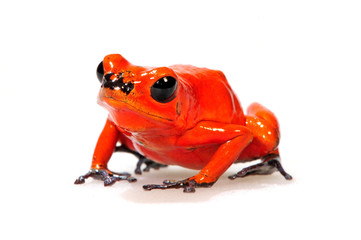 Door stickers Frog Erdbeerfröschchen (Oophaga pumilio) - Strawberry poison-dart frog