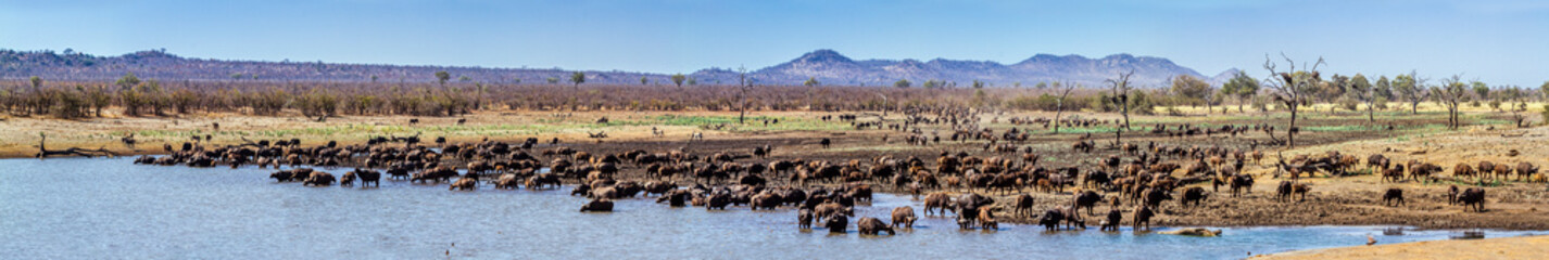 Photo sur Aluminium Buffalo African buffalo in Kruger National park, South Africa ; Specie Syncerus caffer family of Bovidae