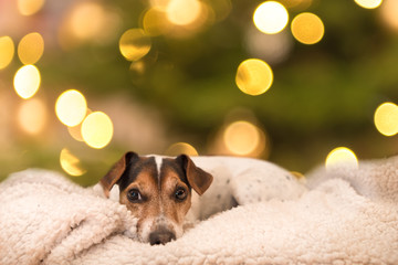 cute little Jack Russell Terrier 11 years old. Dog lies on white blanket in front of blurred christmasy background