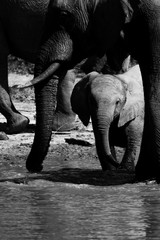 Baby elephant in black and white under the safety of mum at a waterhole in the Okavango Delta, Botswana.