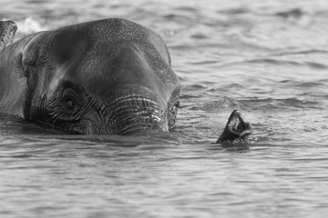 Elephant with trunk above water in black and white swimming across the river Chobe in Botswana.