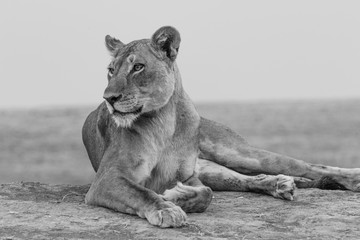 Thoughtful lioness in black and white in South Luangwa National Park, Zambia.