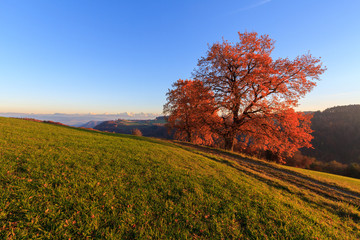 Red autumn tree and path at sunset with the Bernese Alps in the background.