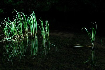Blades of grass on dark water