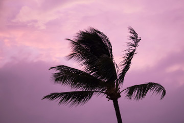 Palm Tree Blowing Silhouette Against Pink Cloudy Sky