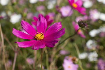 Cosmos blooming in full sun