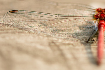 macro detail of dragonfly wing resting on brown wood as a shallow foreground