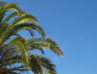 close up of a bright green vibrant tropical palm tree top with fronds against a bright blue summer sunlit sky