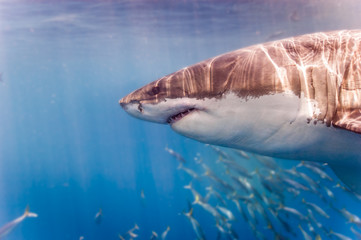 Great White Shark up close next to the cage
