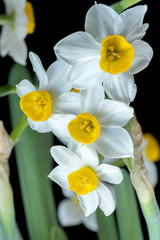 Photo sur Aluminium Narcissus is a beautiful flower.